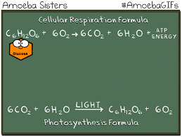 our new gif demonstrates how the photosynthesis and cellular respiration formulas are basically flipped amoebasisters com amoebagifs html