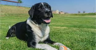 bernese mountain dog mix. Perfect Mountain Is A Labernese The Right Dog For You Letu0027s Find Out In This Complete Guide  To Labrador Retriever Bernese Mountain Mix With Mountain Dog Mix O