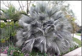 fan palm trees. mexican blue fan palm tree trees