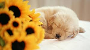 hd quality images collection sleeping puppy by angie robuck