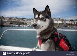 Husky dog in life jacket on boat in ...