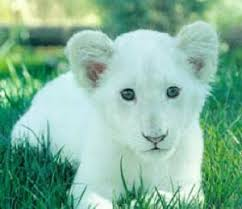 baby white lion with blue eyes. White Image To Baby Lion With Blue Eyes
