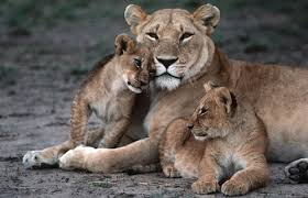 lioness and 4 cubs. Delighful Lioness Lioness And Cubs And Lioness 4 Cubs N