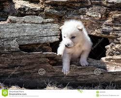 newborn white wolf pup. Contemporary Pup Newborn White Wolf Pup  Photo17 On White Wolf Pup M