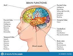 Brain Chart Brain Functions Chart Stock Vector Illustration Of Face