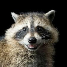 Raccoon Classification Chart Raccoon National Geographic