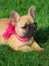 french bulldog puppy fawn. Brilliant Puppy This Is Our Apricot Fawn French Bulldog Puppy She Loves Affection And As  You Can See She Lovely To Cuddle Her Father Claude Who Also On This  To Puppy