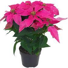 Weihnachtsstern Princettia Topf ø Ca 13 Cm Euphorbia