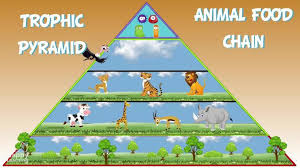 animal food pyramid.  Food In Animal Food Pyramid Happy Learning