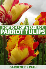 How to Grow Parrot Tulips