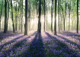 Poster Glockenblumen Im Wald 140x100 Cm Online Bei Roller Kaufen