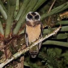 Tawny-browed owl