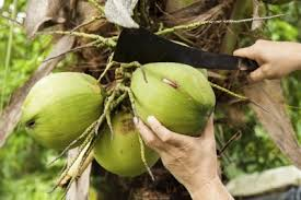 harvesting of coconut trees how to pick coconuts from trees the harvesting of coconut trees
