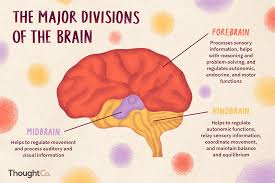 Flow Chart Of Nervous System In Human Beings Divisions Of The Brain Forebrain Midbrain Hindbrain