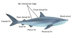 shark body diagram wiring diagrams schematic shark body diagram wiring diagrams best reef shark diagram shark body diagram