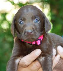 female chocolate lab. Fine Lab MMKennelscom Female Chocolate Lab Pup To Female Chocolate E