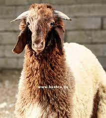 خروف هرفي - البشرى للحوم