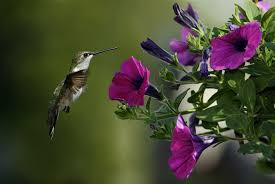 images of flowers and birds. Fine And Flowers Birds Hummingbirds Purple Wallpaper And Images Of Birds B