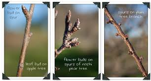 How To Plant Fruit Trees With Pictures  WikiHowPlum Tree Not Producing Fruit