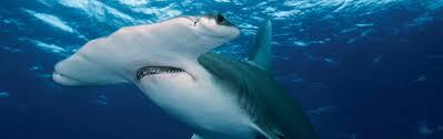 baby hammerhead sharks for sale. Plain Sharks Hammerhead For Baby Hammerhead Sharks Sale R