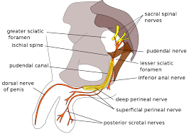 Sciatic Nerve Flow Chart Pudendal Nerve Wikipedia