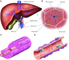 Liver Anatomy Liver Anatomy A Entire Organ And Blood Supply Blue