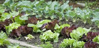 garden pest. Plants Growing In Vegetable Garden. Garden Pest C