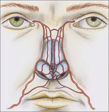 arteries of the face nasal arterial vasculature medical and surgical applications