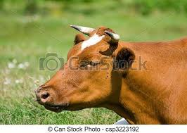 brown cow face. Beautiful Face Cow Face  Csp3223192 In Brown Face W