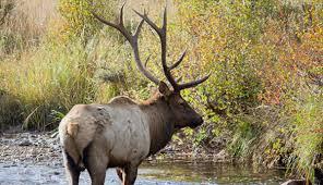 Image result for sightseeing elk