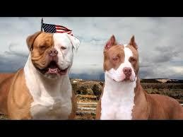 american bulldog vs pitbull fight. American Bulldog VS Pitbull Terrier 101 Throughout Vs Fight