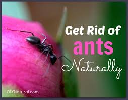 how to get rid of ants naturally ant bait