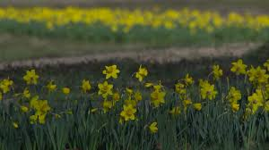 First <b>flower field</b> blooms at Dorothea Dix Park in Raleigh | abc11.com