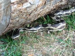 Rat Gray Snake Rat Rat Gray Gray Snake Snake Gray Rat