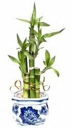 How to Grow Bamboo Plants Indoors