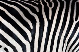 Zebra Patterns Cool Zebra Patterns Wall Mural Pixers We Live To Change