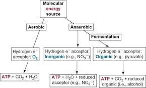Anaerobic Cellular Respiration Biochemical Pathways