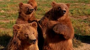 Image result for grizzly bear group