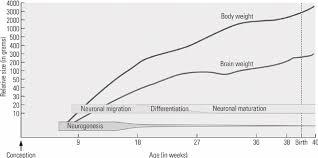 Stages Of Brain Development Download Scientific Diagram
