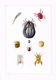 Tick Identification Chart 1960 Mites Ticks Identification Chart Print Illustration Parasite Pest Chart Print Entomology Natural History Science