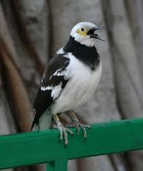 [FOTO] BURUNG JALAK NIAS Gambar Aneka Burung Jalak Nias dan Cara Merawat