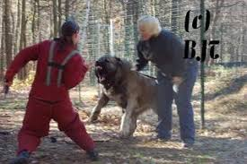 pitbull dog vs wolf. Simple Pitbull Which Domestic Dog Breed Can Hold Its Own Against Wolves  24hourcampfire For Pitbull Dog Vs Wolf