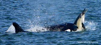killer whales eating dolphins. Killerwhaledolphincapetown For Killer Whales Eating Dolphins