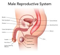 male reproductive system vocabulary presentation quotsponge set up simple male reproductive system