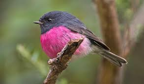 Pretty in pink: the male pink robin