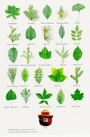 Identification Chart For Leaves 15 Of Smokey Bears Best Nature Posters Garden
