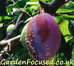 Plum Tree Harvest U2013 How And When Do You Harvest PlumsDo You Need 2 Plum Trees To Produce Fruit