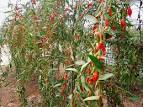 where do goji berries grow