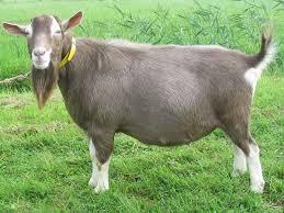 Toggenburg Goat Wikipedia