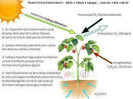 Jelaskan Proses Fotosintesis Tumbuhan Dengan Bagan Brainly Co Id